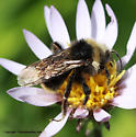 Bee - Bombus insularis - male