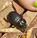 Rhinoceros Beetle  - Phileurus truncatus