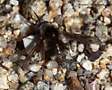 Bee Fly - Bombylius curtirhynchus