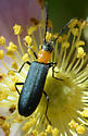 Beetle - Asclera excavata