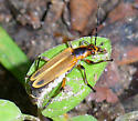 Margined Leatherwing? - Chauliognathus marginatus
