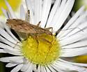 Damsel bug - Nabis roseipennis