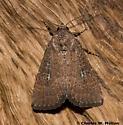Moth - Condica charada