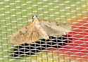Inkblot Palpita moth - Palpita illibalis