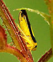 Plant/Tree Hopper? - Colladonus clitellarius