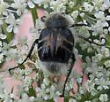 (bee mimic beetle) - Trichiotinus assimilis