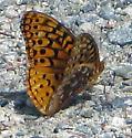 Great Spangled Frittillary - Speyeria cybele - male