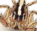 Plexippus paykulli - male
