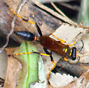 Need gender for this Black And Yellow Mud Dauber (Sceliphron caementarium) - Sceliphron caementarium - female