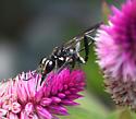 Ammophila or Isodontia?  - Eremnophila aureonotata