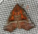 Late November moth - Scoliopteryx libatrix