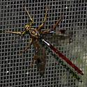 Ichneumon Wasp - Megarhyssa macrurus - male