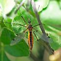 Crane fly on Poison Oak