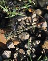 Dragonfly - Arigomphus submedianus