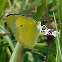 ID for a Florida panhandle yellow butterly? - Pyrisitia lisa