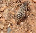 Aphoebantus Bee Fly? - Aphoebantus