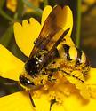 Scoliid Wasp ? - Campsomeris trifasciata