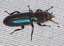 green beetle - Temnoscheila
