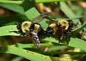 Robber Flies - Laphria thoracica - Laphria thoracica - male - female