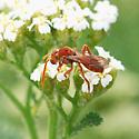 little wasp on flower - Nomada