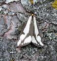 Leconte's Haploa Moth - Hodges#8111  - Haploa lecontei