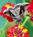 October Looper Moth - Anagrapha falcifera