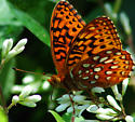 Fritillary butterfly - Speyeria aphrodite - male