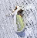 Moth - Neumoegenia poetica