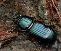 Large Beetle in rotted stump - Odontotaenius disjunctus