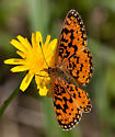Valley Bend Butterfly - Boloria selene