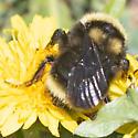 Bumble Bee - Bombus californicus