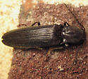 Bipectinate Click Beetle - Pityobius anguinus - male
