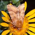 moth on gumweed - Schinia mortua