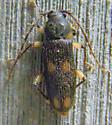 Beetle - Tylonotus bimaculatus