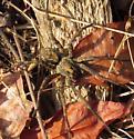 Woodland Giant Wolf Spider - Tigrosa aspersa - male