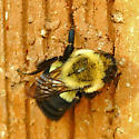 Bombus species? - Bombus impatiens - female