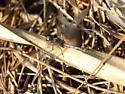 Dragonfly - Erythrodiplax minuscula