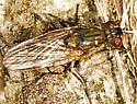 Family Muscidae - House Flies and kin - Lispe