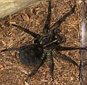 Hogna wolf spider? - Tigrosa grandis