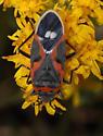 Bug at Grasslands NP - Lygaeus kalmii