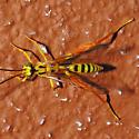 Ichneumon Wasp 05.27.2009 097 - Spilopteron occiputale - male