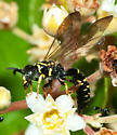 Wasp - Myzinum carolinianum - male