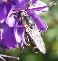 syrphid fly - Syritta pipiens