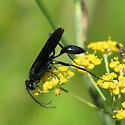 Great Black Wasp - Sphex pensylvanicus? - Chalybion californicum