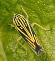striped leafhopper - Sibovia occatoria