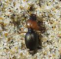 Tiny beach beetle - Akephorus obesus