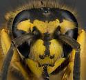 Wasp? - Vespula maculifrons