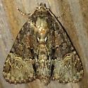 Moth - Phosphila turbulenta