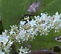 Philanthus gibbosus? Maybe female? - Philanthus gibbosus
