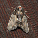 Cloaked Marvel - Chytonix palliatricula